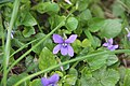 Early dog-violet - Viola reichenbachiana - panoramio (2).jpg