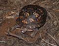 Eastern Box Turtle 8669.jpg