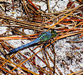 Eastern Pondhawk, male, Florida.jpg