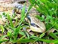 Eastern blue tongued lizard head.jpg