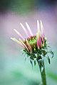 Echinacea (6465586585).jpg
