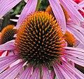 Echinacea purpurea20090812 506.jpg