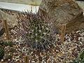 Echinopsis ferox c-3311 - 02.jpg