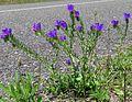 Echium plantagineum plant1 (8157270227).jpg