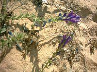 Echium sabulicola.jpg