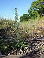 Echium vulgare sl10.jpg