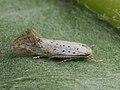 Elachista pollinariella (40857460771).jpg