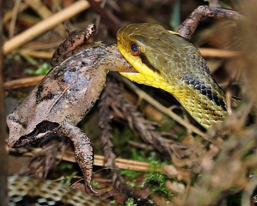 Elaphe quadrivirgata capturing Rana ornativentris