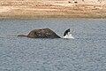Elephant snorkeling.jpg