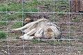 Em - Canis lupus lupus - 4.jpg