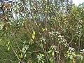 Englerophytum magalismontanum, habitus, Elandsfontein, a.jpg