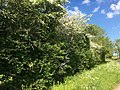 English country hedgerow (26673995563).jpg