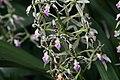 Epidendrum prismatocarpum 1zz.jpg