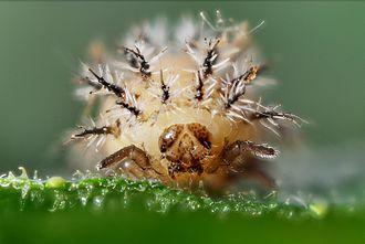 Epilachninae - Henosepilachna argus larva, frontal aspect. Head capsule width = 1.2 mm