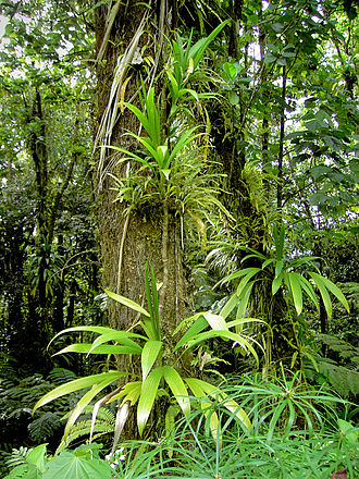 Epiphyte - Epiphytes can grow on the trunks of trees or sometimes in the canopy of a tree