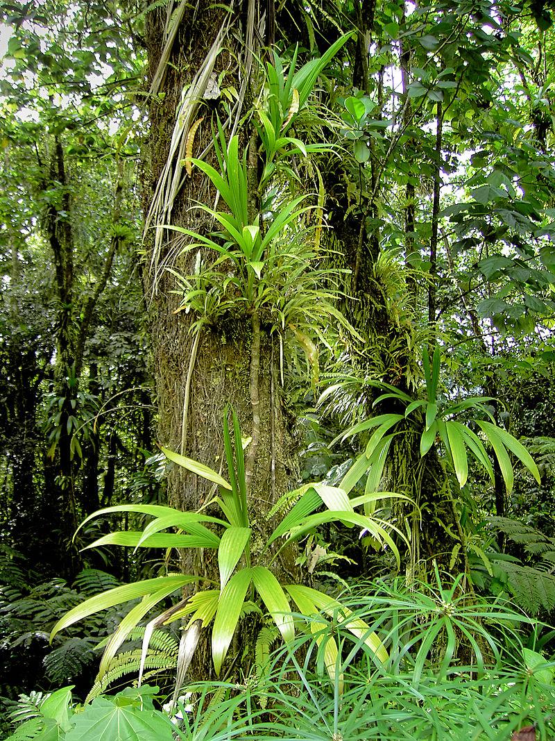 Epiphytes (Dominica).jpg