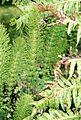 Equisetum telmateia (2943652827).jpg