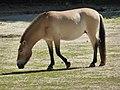 Equus-p-przewalskii-facing-left-1.jpg