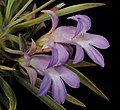 Eremophila phyllopoda subsp. phyllopoda - Flickr - Kevin Thiele.jpg
