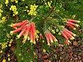 Erica unicolor ssp. georgensis.jpg