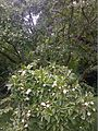 Ericales - Stewartia pseudocamellia - 3.jpg