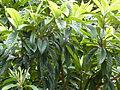 Eriobotrya japonica-Jardin des Plantes 01.JPG