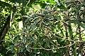 Eriobotrya japonica 7zz.jpg