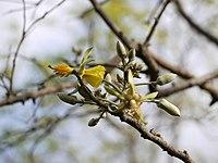 Eriolaena quinquelocularis (7197985984).jpg