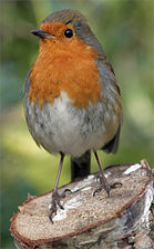 Erithacus-rubecula-melophilus Dublin-Ireland