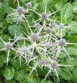 Eryngium variifolium - Flickr - peganum (1).jpg