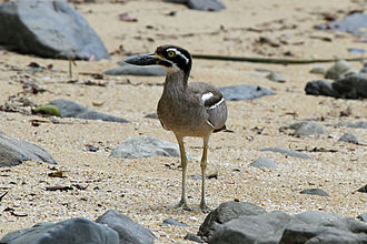 Claremont Isles National Park - Beach stone-curlew
