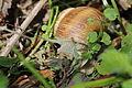 Escargot - Helix pomatia (13801241824).jpg