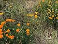 Eschscholzia californica 3 2018-05-06.jpg