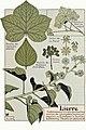 Etude de la plante - p.107 fig.146 - Lierre.jpg