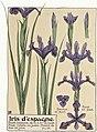 Etude de la plante - p.83 fig.110 - Iris d'Espagne.jpg