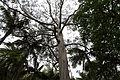 Eucalyptus globulus-IMG 8730.JPG