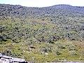 Eucalyptus luehmanniana woodland.jpg