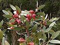Eucalyptus tetraptera1.jpg