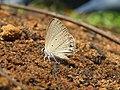 Euchrysops cnejus Fabricius, 1798 – Gram Blue at Aralam Wildlife Sanctuary 2016 (4).jpg