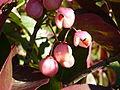Euonymus grandiflorus-Jardin des plantes 06.JPG