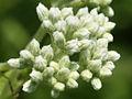 Eupatorium perfoliatum SCA-9255.jpg