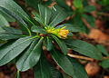 Euphorbia amygdaloides var. robbiae. Locatie Jonkersvallei 02.jpg