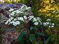 Euphorbia corollata - Flowering Spurge.jpg