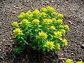 Euphorbia epithymoides 001.JPG