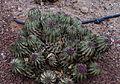 Euphorbia horrida - originaire d'Afrique du Sud.jpg