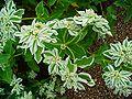 Euphorbia marginata 002.JPG