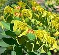 Euphorbia rigida 4.jpg