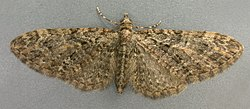 Eupithecia abbreviata, Brindled Pug, Trawscoed, North Wales, April 2006 (20921653140).jpg