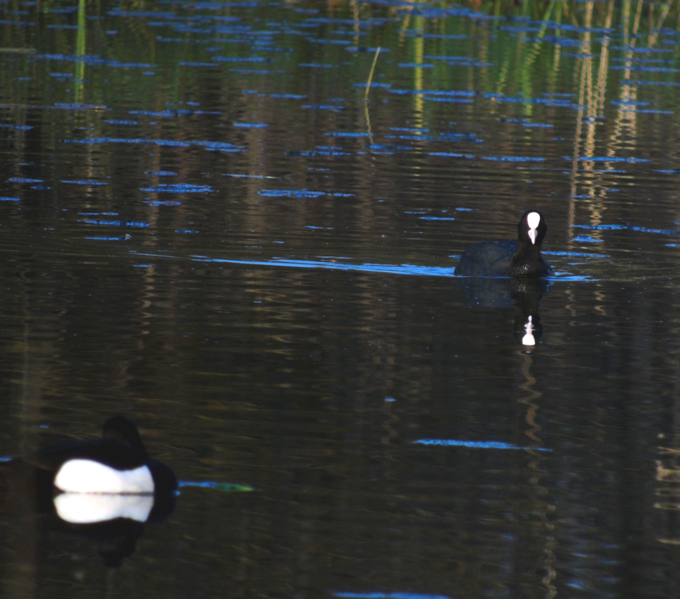 Eurasian Coot and Tufted Duck at Newport Wetlands RSPB Reserve Visitor Centre