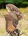 Eurasian Eagle Owl.jpg